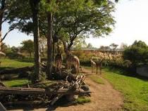 Giraffen beim Fressen © jennlynndesign