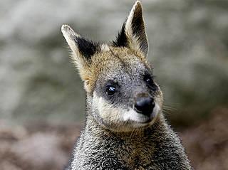 Känguru in den Auburn Botanic Gardens.  © Nina Matthews Photography