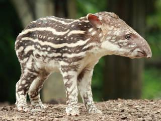 Tapir in der Tierwelt Herberstein. © Tierwelt Herberstein