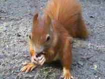 Eichhörnchen im NUP Güstrow © WockyHajar